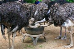 Ostrich feeding Stock Photo