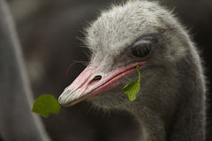 Ostrich feeding Royalty Free Stock Photos