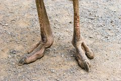 Ostrich Feet Stock Photography