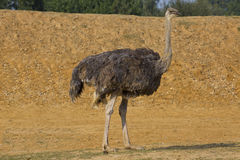 Ostrich 2 Stock Photography