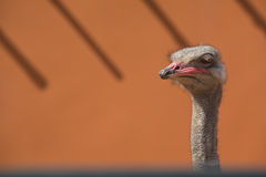 Ostrich female head Royalty Free Stock Photo