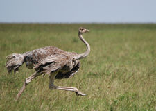 Ostrich Female Running. Through the grass of the Masi Mara Royalty Free Stock Images