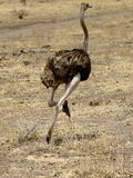 Ostrich Female Running Stock Image