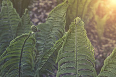 Ostrich fern in the forest. Latin name: Matteuccia struthiopteris sunset or sunrise Stock Photo