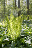 Ostrich Fern In The Forest Stock Photos