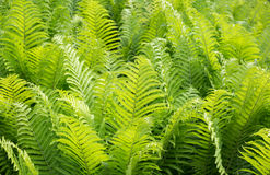 Ostrich Fern  Matteuccia Struthiopteris  Stock Images