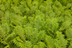 Ostrich fern Matteuccia struthiopteris background Royalty Free Stock Photo
