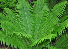 Ostrich fern Matteuccia struthiopteris royalty free stock photos