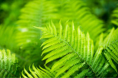 Ostrich fern Matteuccia struthiopterisin the forest in Moscow. Russia Royalty Free Stock Images