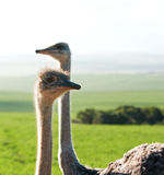 Ostrich in field. Young female Ostrich in green fields Stock Photos