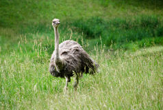 Ostrich in a field Stock Image