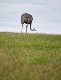 Ostrich on a field. An ostrich takes its evening walk on a green field Stock Image