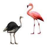 Ostrich, flamingo. Ostrich, pink flamingo isolated on white background Stock Images