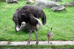 Ostrich with fledgling Stock Image
