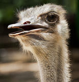 Ostrich flightless bird Royalty Free Stock Photography