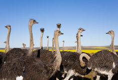 Ostrich Flock. Group of ostriches with yellow rapeseed fields in background, South Africa. One Ostrich not conforming royalty free stock images