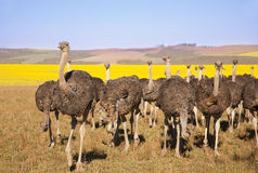 Ostrich Flock Royalty Free Stock Photography