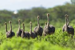 Ostrich Flock Wilderness Stock Photo