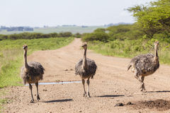 Ostrich Flock Wilderness Royalty Free Stock Image