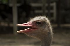 Ostrich Birds Open mouth Stock Images