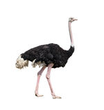Ostrich full length isolated. On white Stock Image