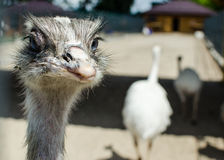 Ostrich. The ostrich funni in zoo Royalty Free Stock Photo