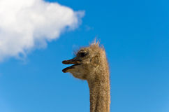 Ostrich. Funny head of ostrich against the blue sky with white cloud Royalty Free Stock Photo