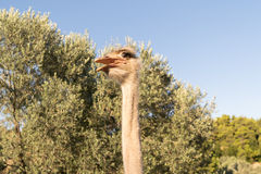 Ostrich funny portrait against the tees and the blue sky. Royalty Free Stock Photography