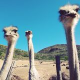 Ostrich Galore. Ostriches Ostrich outdoors nature wildlife animals sky mountains funny Royalty Free Stock Photo