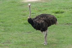 ostrich in garden at thailand