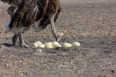 Ostrich gaurding its eggs. Royalty Free Stock Image