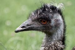 Ostrich gaze on blurred green background. Bird's head magnified for funny haircut to be clearly visible Stock Photography