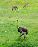 Ostrich and giraffes Stock Photo