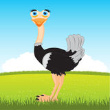 Ostrich on glade Royalty Free Stock Image