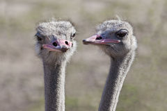 Ostrich Gossip Royalty Free Stock Images