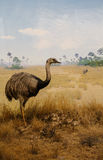 Ostrich in Grasslands Royalty Free Stock Photography