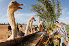 Ostrich 021 Royalty Free Stock Photo