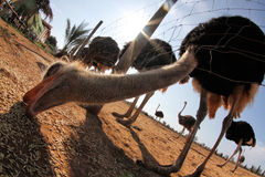 Ostrich 028 Royalty Free Stock Images