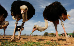 Ostrich 019 Royalty Free Stock Image