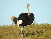Ostrich. Grazing on the South African plains Royalty Free Stock Photos