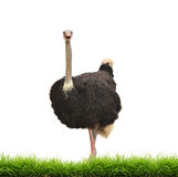 Ostrich with green gress isolated stock images