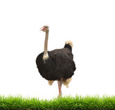 Ostrich with green gress isolated stock photography