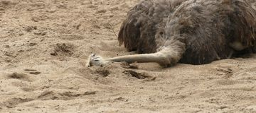 Ostrich on the ground Stock Images