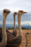 Ostrich in a group. Ostrich from a group is watching over razor wire Royalty Free Stock Photos