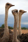 Ostrich in a group Stock Images