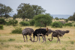Ostrich Group. A group of Ostriches searching for food Royalty Free Stock Photography