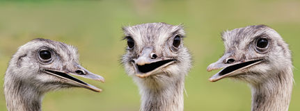 Ostrich group portrait Royalty Free Stock Photos