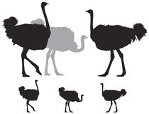 Ostrich group silhouette Stock Photo