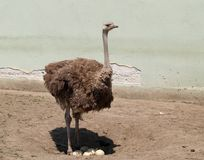 Ostrich Guards The Eggs Royalty Free Stock Photo