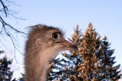 Ostrich with large eyelashes in profile. stock photography